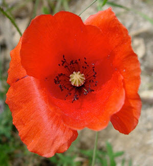 Memorial day poppies 5 cents with a song telltale souls lynn i mightylinksfo